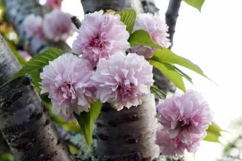 1804桜2