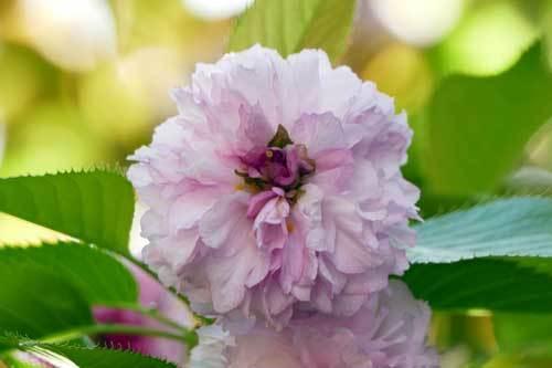1804桜