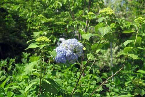 180510紫陽花