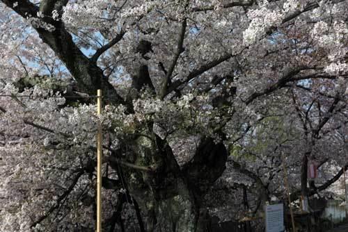 180401川路桜