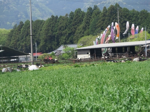 栃木 鯉のぼり