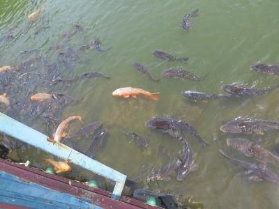 りんどう湖 鯉