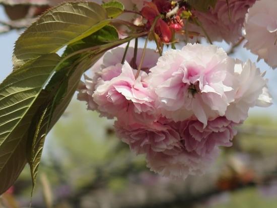 りんどう湖 八重桜