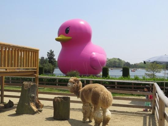 りんどう湖 ピンクの巨大アヒルとアルパカ