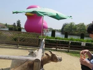 りんどう湖 ピンクの巨大アヒルとやぎさん