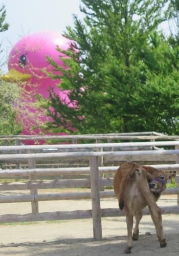 那須りんどう湖 ピンクのアヒルと仔牛ちゃん