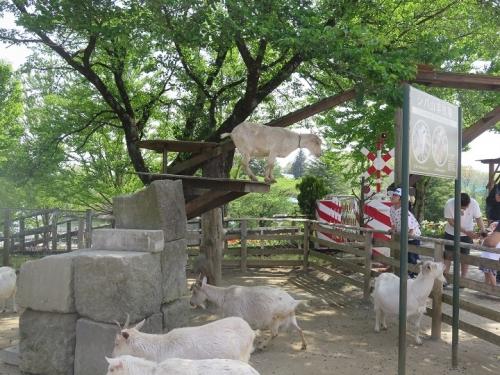 那須りんどう湖 シバ山羊