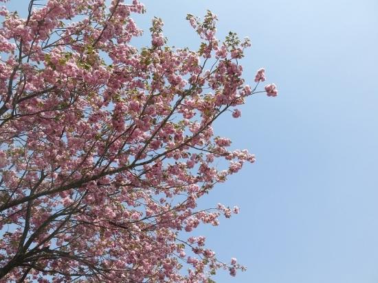 那須りんどう湖 八重桜