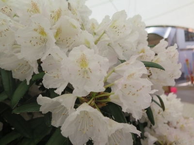 東武ワールドスクウェア 石楠花