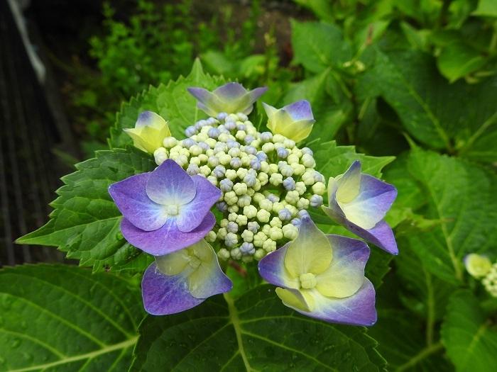 ガクアジサイ紫2