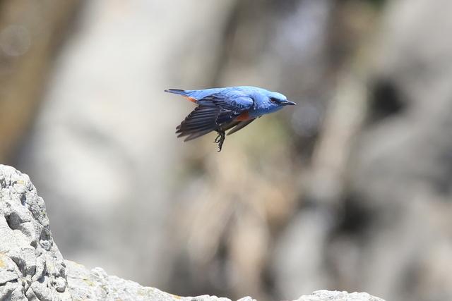 イソヒヨドリ♂ (8)