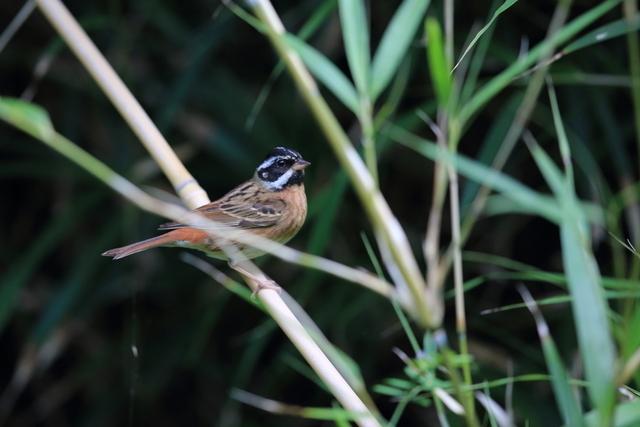 シロハラホオジロ♂ (1)