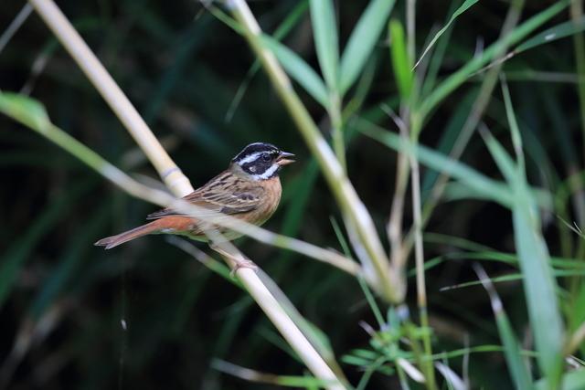 シロハラホオジロ♂ (2)