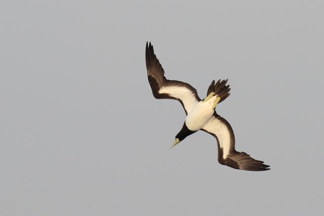 カツオドリ (6)