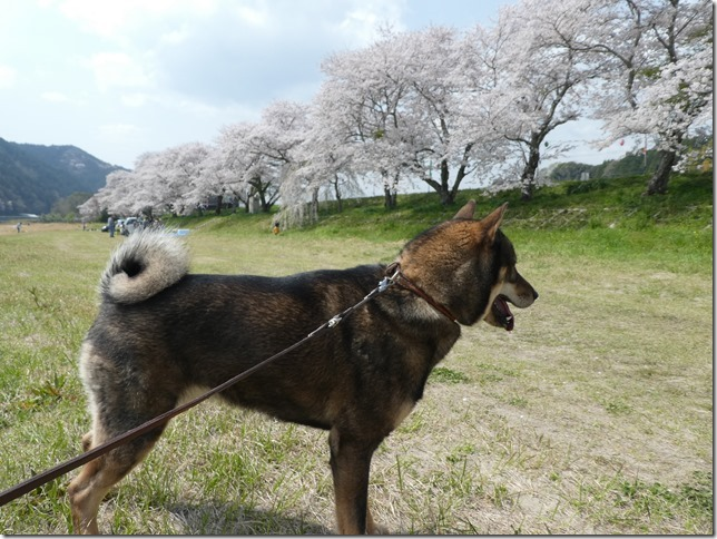 20180401-桜散歩03