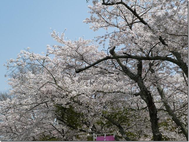 20180401-桜散歩12