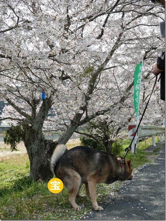 20180401-桜散歩16