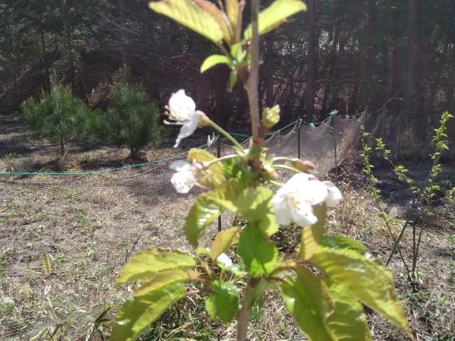 さくらんぼの花0429