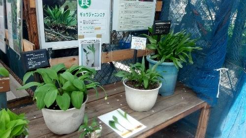 衛生研展示 ギョウジャニンニク、イヌサフラン 鉢植え