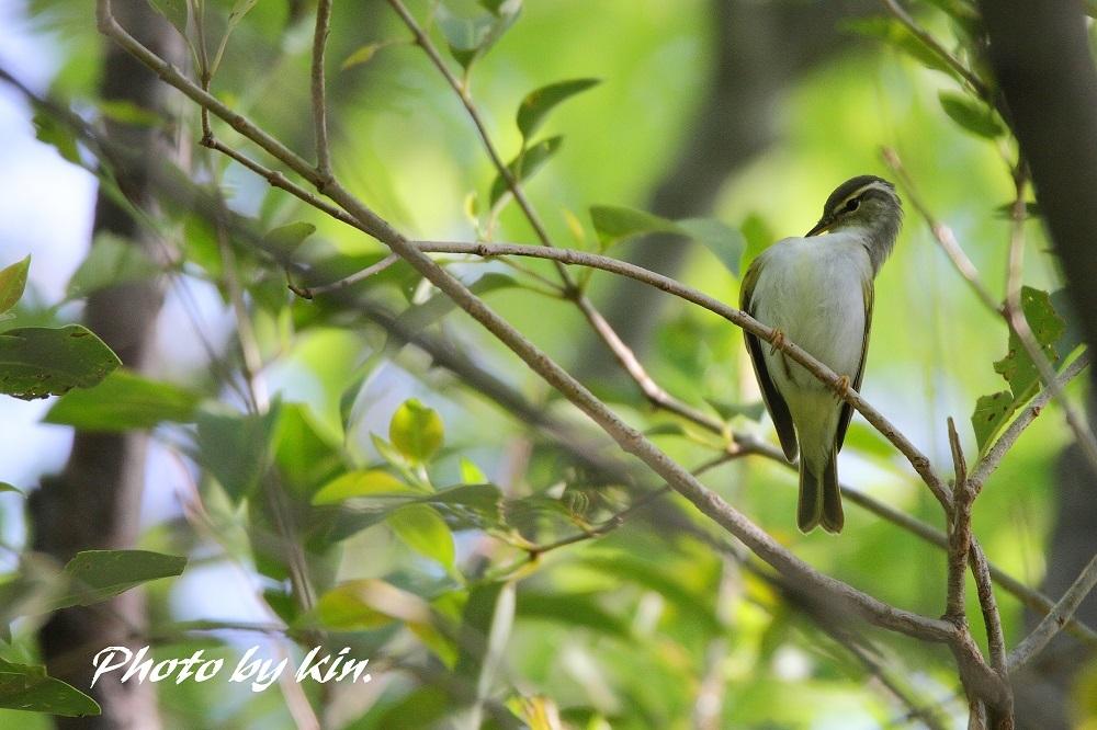 Eastern Crowned Warbler ♪