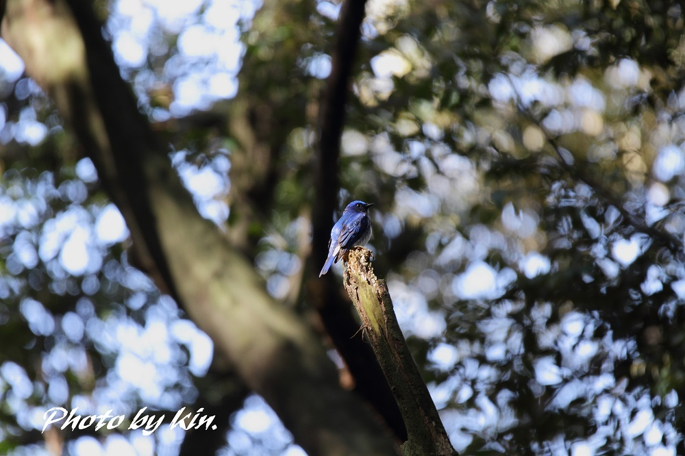 Blue-and-white flycatcher ♪ ~オオルリ PART2~