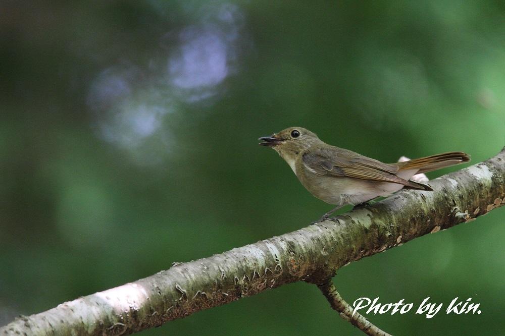 Blue-and-white flycatcher ♪ ~オオルリ PART3~