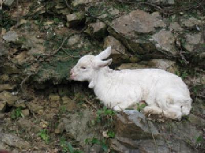 ヤンバルのヤギ