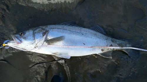ソルトバイブ60で釣れた魚まとめてみた(5)