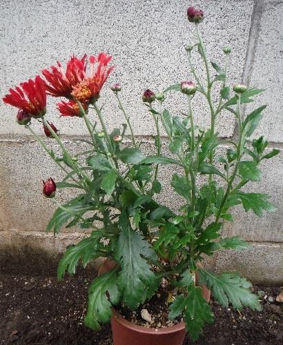 Chrysanthemum_Charmer10-2018.jpg