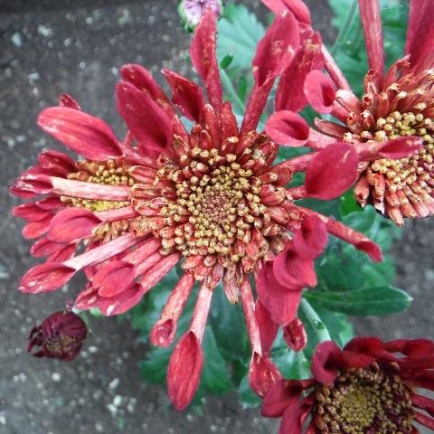 Chrysanthemum_Charmer6-2018.jpg