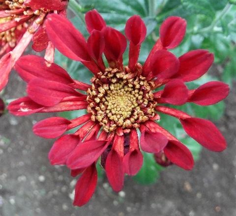 Chrysanthemum_Charmer7-2018.jpg