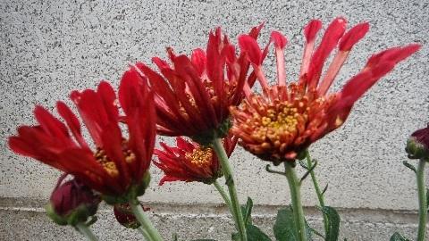Chrysanthemum_Charmer8-2018.jpg