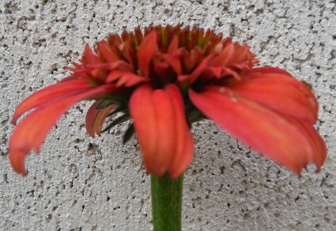 Echinacea-Meteor_Red2-2018.jpg