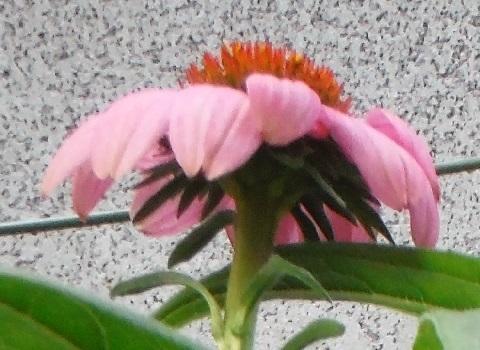 Echinacea_paradiso_pink2-2018.jpg
