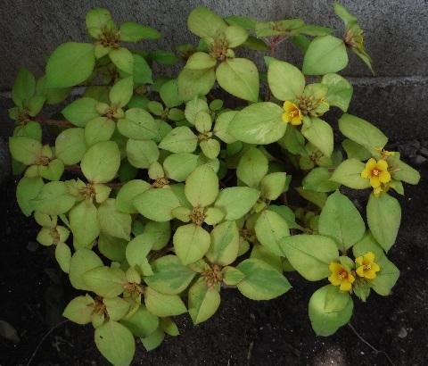 Lysimachia_congestiflora_Lyssii3-2018.jpg