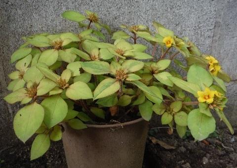 Lysimachia_congestiflora_Lyssii4-2018.jpg