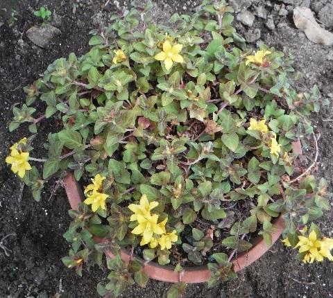 Lysimachia_congestiflora_MidnightSun3-2018.jpg