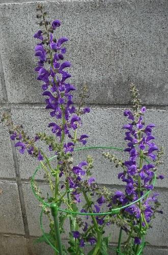 Salvia-pratensis_Twilightserenade1-2018.jpg