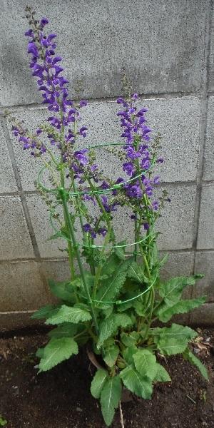 Salvia-pratensis_Twilightserenade4-2018.jpg