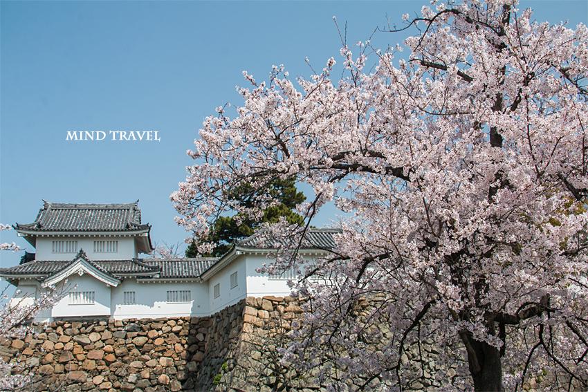 岸和田城 桜
