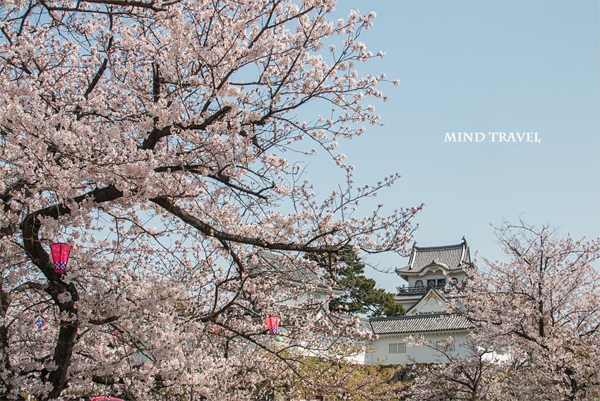 岸和田城 桜2