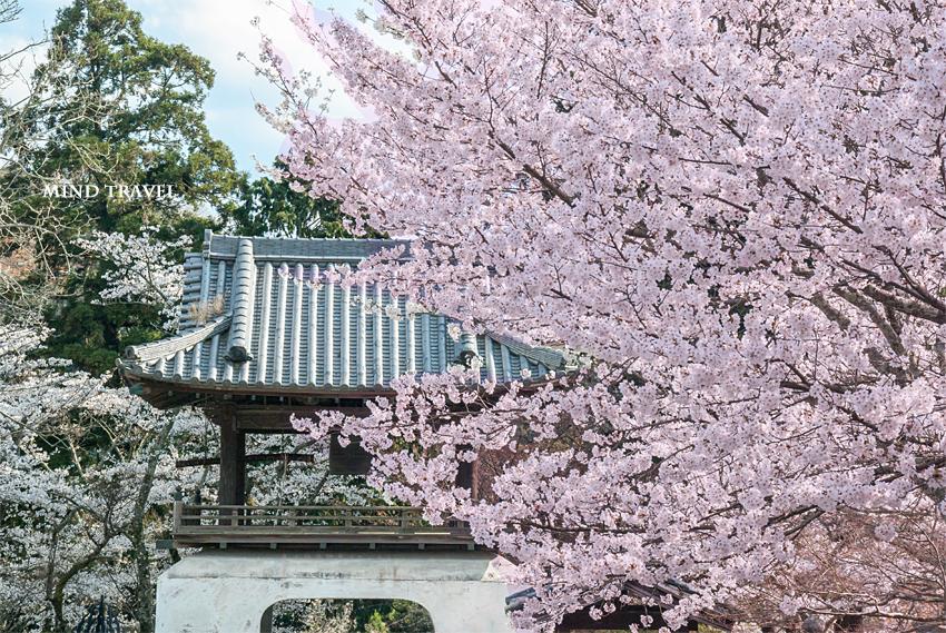 根来寺 桜