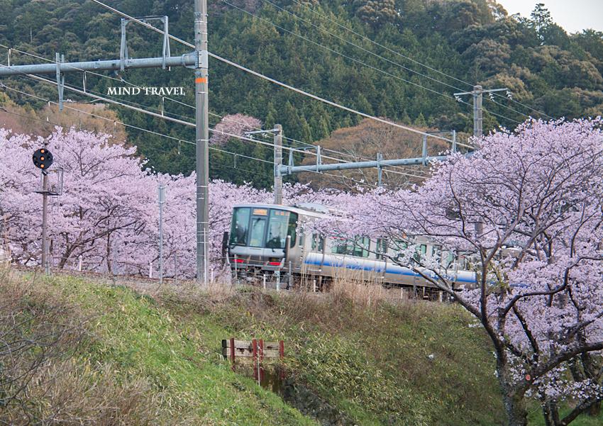 山中渓駅付近  桜