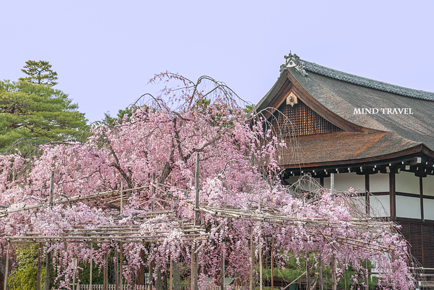 平安神宮 しだれ桜