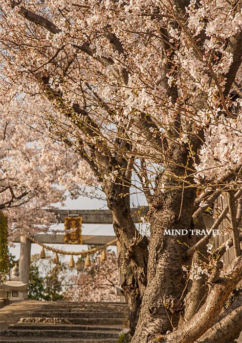 百済王神社 桜