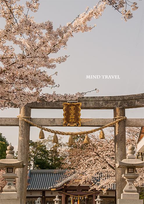 百済王神社 桜2