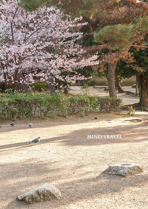 百済寺跡 桜 礎石