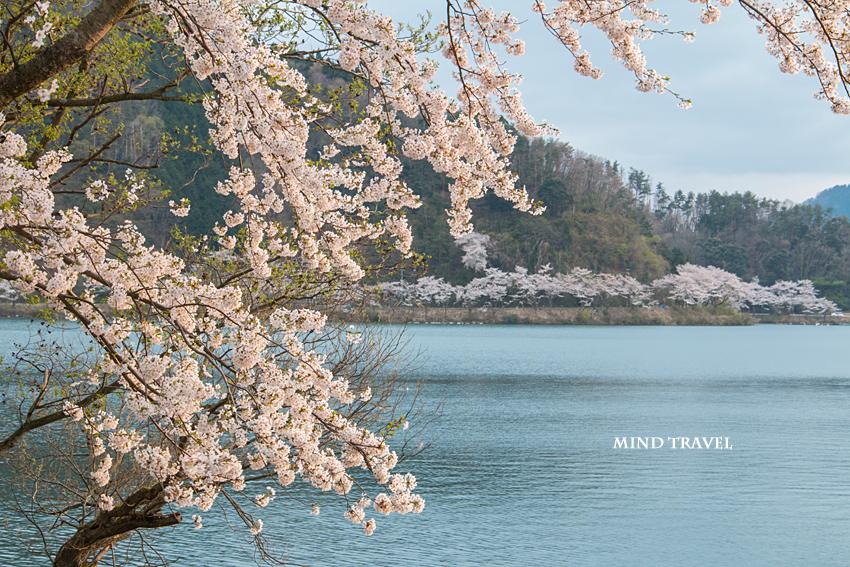 奥琵琶湖パークウェイ付近 桜