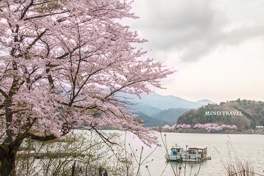 奥琵琶湖パークウェイ付近 桜と舟
