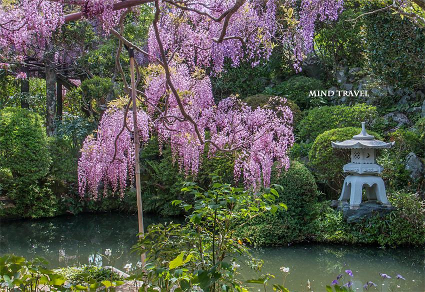 子安地蔵寺 池と藤